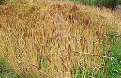 小麦収穫間近