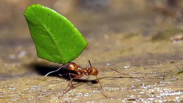 maestra hormiga