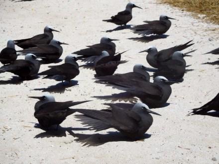 Black noddy bird. They were everywhere.
