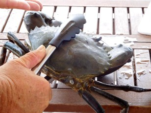 A big mud crab we are told.