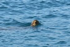 Loggerhead turtles were everywhere at Whitehaven.