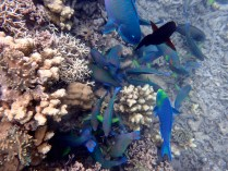 Parrotfish eating the algae off the coral. Their favourite pastime!