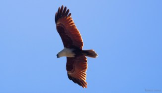 Brahminy kite at Curlew Island. Two were circling our two Fusions as we arrived.