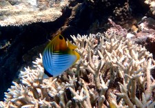 A butterfly fish. Small and fast too.