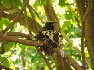 The black noddy nesting.