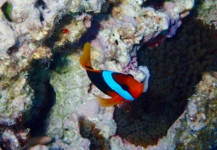 A cinnamon clownfish?