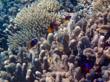 There were so many clownfish here, maybe as many as 15. Lost count!