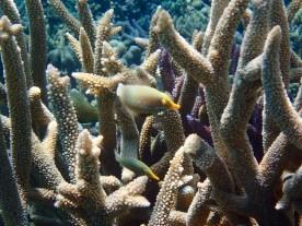 A favourite ... three harlequin filefish