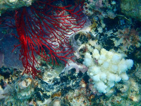 Red soft corals have such an impact in the water