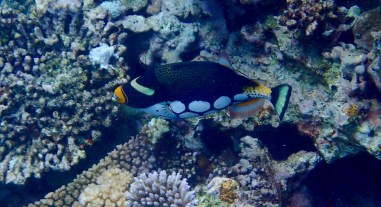 My new favourite ... the Triggerfish