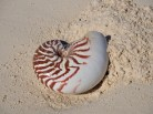 The shells at Ouvea ... I was lucky enough to find a nautilus shell.