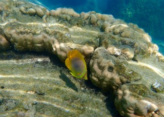These Butterflyfish are quick so catching one in focus is always a surprise.