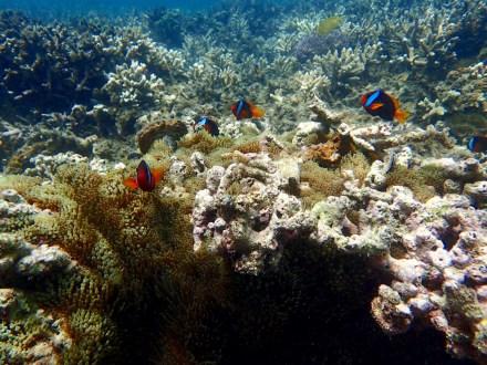 Black Anemone-fish ... as many as 30 ... Monkey Beach.