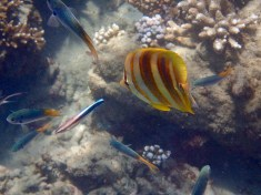 These Butterflyfish are so quick so I'm always thrilled when one is in focus