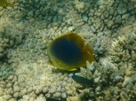 Golden-striped Butterflyfish