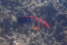 Not a clear pic of the Harlequin Tuskfish ... but definitely my kind of colours!