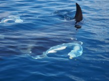 "The Manta experience at Heron Island was a highlight. You can see the Manta's ""horns"" clearly."