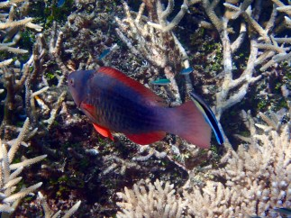 A Parrotfish being spruced up by the cleaner fish