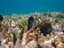 Hadn't seen this fish before ... a juvenile Sailfinned Tang.