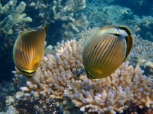 Two Butterfly-fish ... but look at the tiny black Christmas Tree Worm.