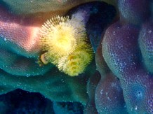 A Christmas Tree Worm ... amazing!