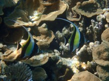 Love the Moorish Idols. Saw many of these in the New Cal' reefs.