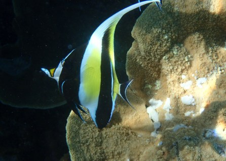 Moorish Idols, spooked easily, but I caught this one napping.