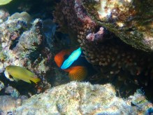 Always a favourite the Anemonefish!