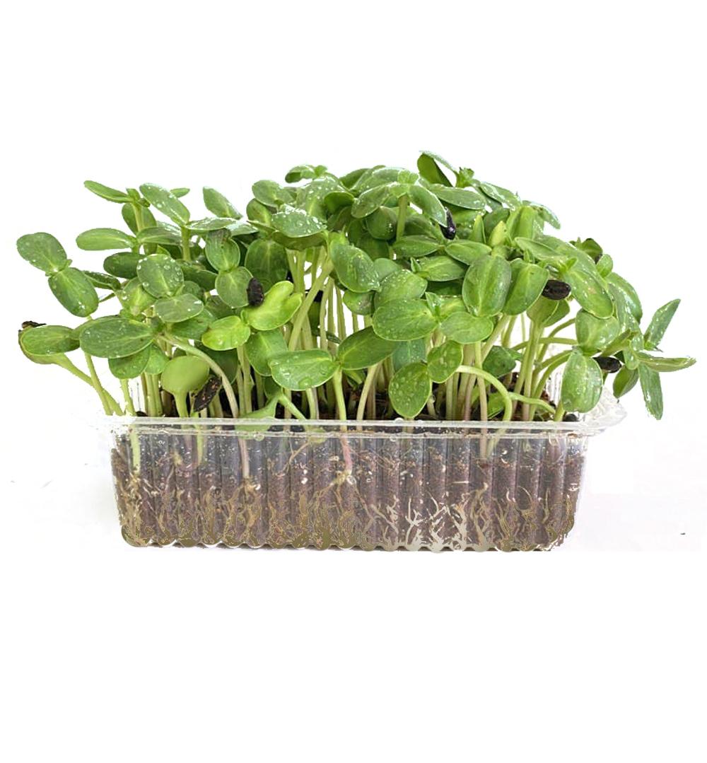 Микрозелень семечки подсолнуха, միկրոկանաչի արևածաղիկ, sunflower microgreen