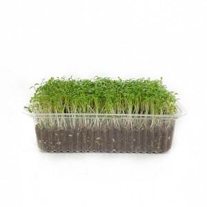Микрозелень кресс салат, միկրոկանաչի կրեսս, cress microgreen