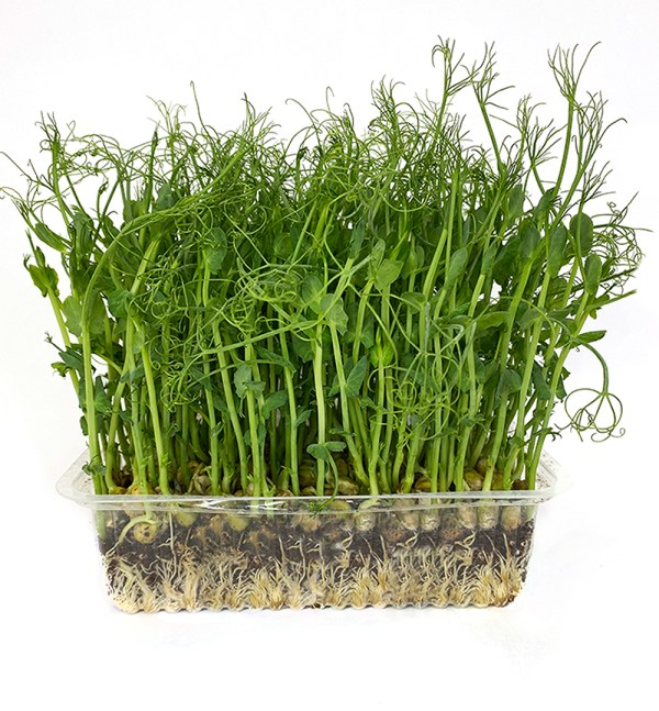 Микрозелень горох, միկրոկանաչի ոլոռ, Pea shots microgreen