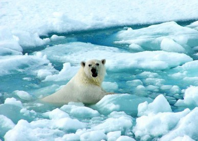 Bear in icy waters