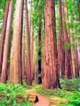 Cedar old growth