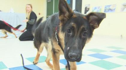 dog2 - 7 German Shepherd Puppies Need Surgery, New Home – CBS Boston