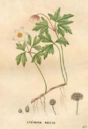 Anemone (Wood)