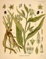 Common Comfrey
