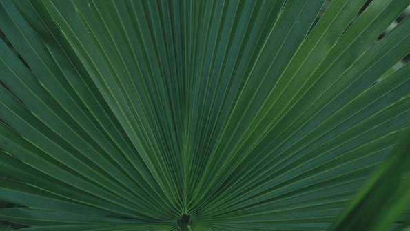 6-Arecapalm.png