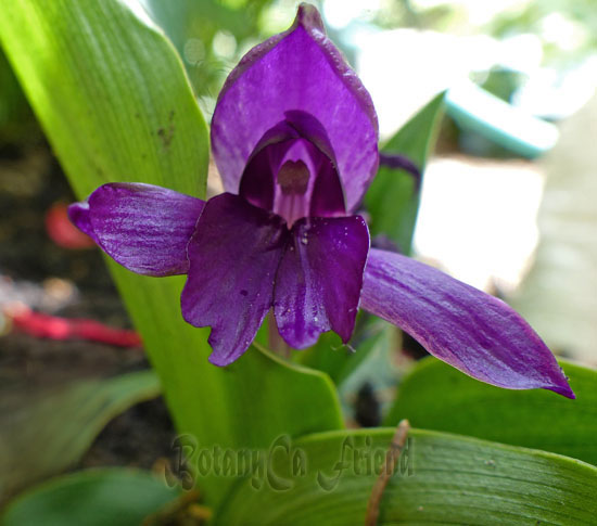 Roscoea Tibetica Botanically Inclined Seed Adventures