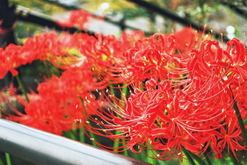 この季節になるとあちらこちらで眩しいほど赤い花を咲かせる「彼岸花」。そんなヒガンバナを調べていくと、仏教の思想とヒガンバナの生態に線と点が繋がるのです。