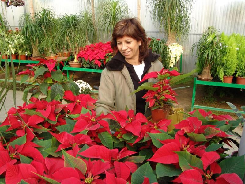 photo credit: Euphorbia pulcherrima en Navidad via photopin (license)