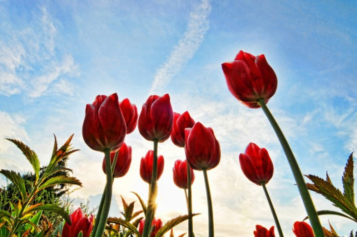 photo credit: Red tulips via photopin (license)
