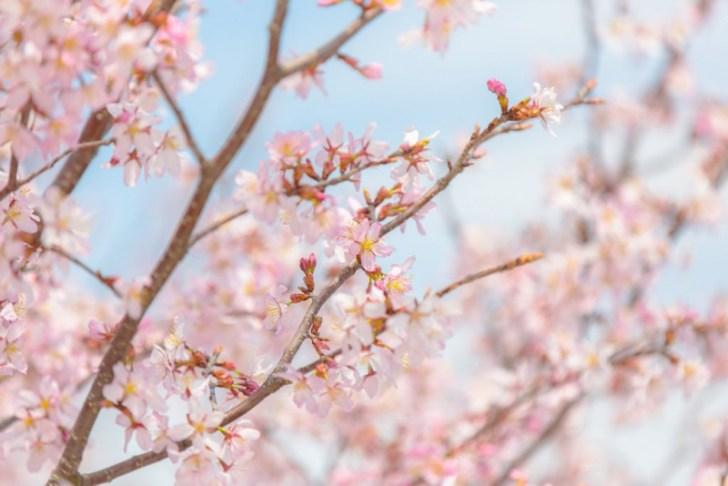 photo credit: Cherry Blossom via photopin (license)