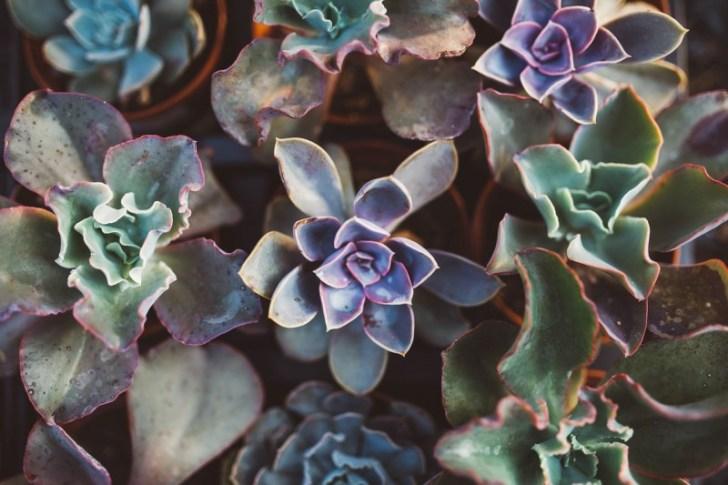 succulent-1031541_1280
