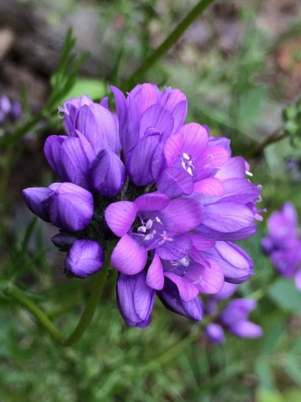 Gilia_achilleifolia