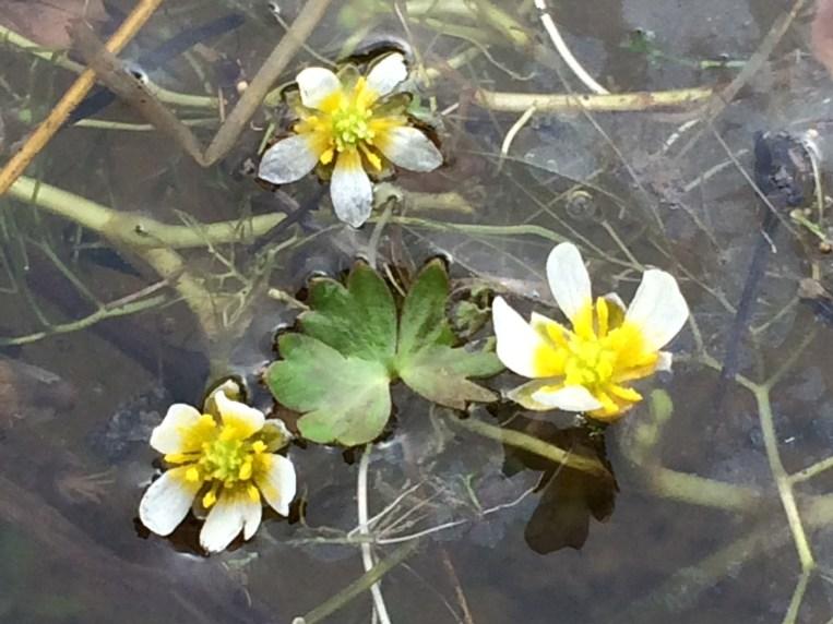 Ranunculus_aquatilis_2