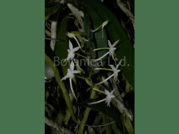 Aerangis ugandensis