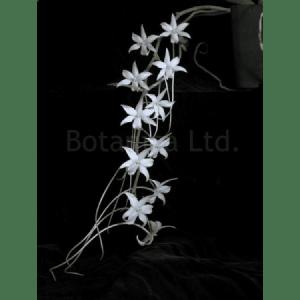 Aerangis articulata