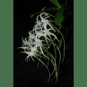 Cyrtorchis chailluana