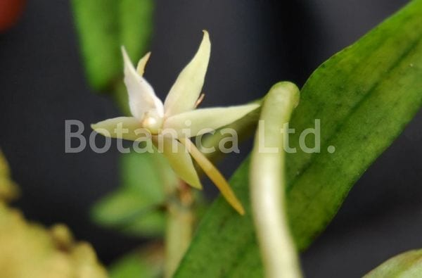 Angraecum erectum - small resupinate flowers along the stem