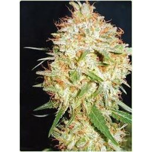Professional_seeds_Critical_widow